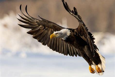 imagenes de agilas blancas golden eagle in action hd animals and birds wallpapers