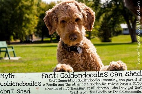 goldendoodle puppy food calculator myth goldendoodles don t shed fact f1 goldendoodles can