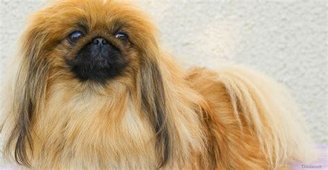pekingese pictures pekingese breed 187 information pictures more