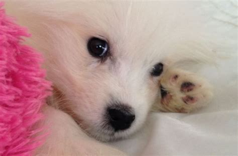 small white fluffy breeds tag for small white fluffy small white fluffy puppy breeds dogs 590 x 584 jpeg