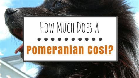 how big do pomeranian dogs get how much does a pomeranian cost herepup