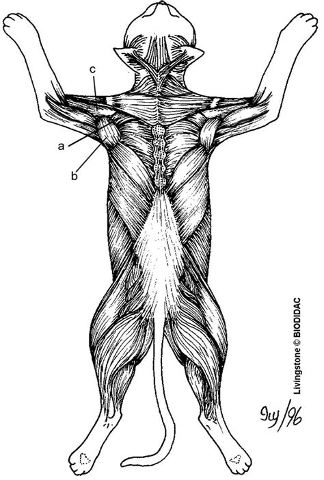 anatomy coloring pages muscles 61 best images about anatomy on coloring