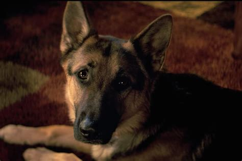 a s purpose german shepherd footage of apparent animal cruelty on set spurs boycott of a s purpose