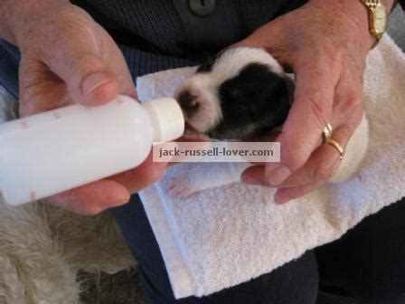 how to bottle feed puppies bottle feeding puppies tips for feeding newborn puppies