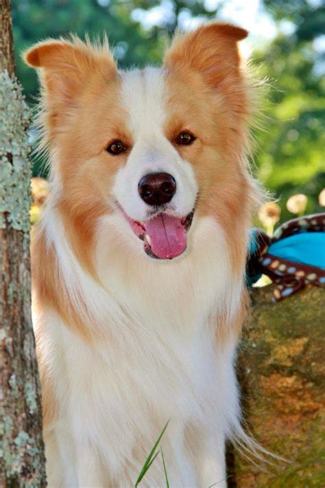 most affectionate dogs top 10 most affectionate breeds many