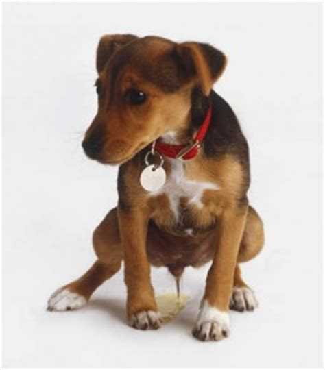 puppy bladder infection does your display bladder infection symptoms 187 albuquerque vetco