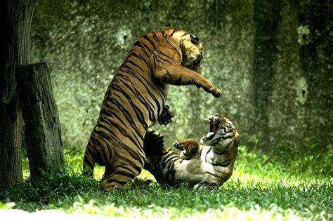 imagenes de leones y tigres peleando dos tigres peleando sudafrica animales en video
