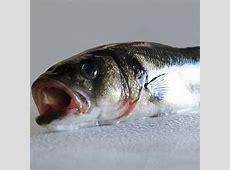 Lubina salvaje 1,5 kg - pescado fresco a domicilio Lenguado