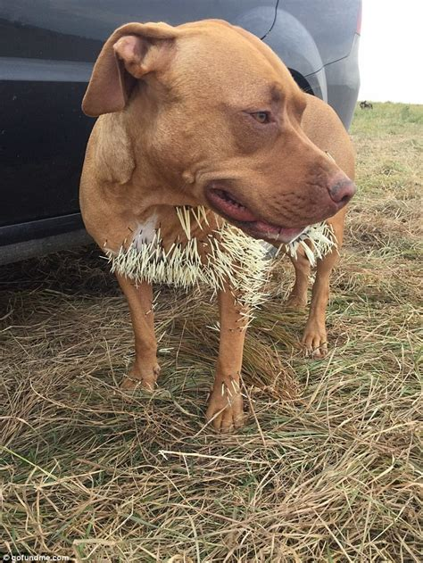 hurt dogs mahalo almost killed after being attacked by a porcupine in canada daily mail