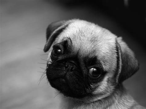 baby pug wallpaper pug wallpapers wallpaper cave