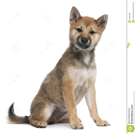 5 month puppy shiba inu puppy 5 months sitting stock image image 14887069
