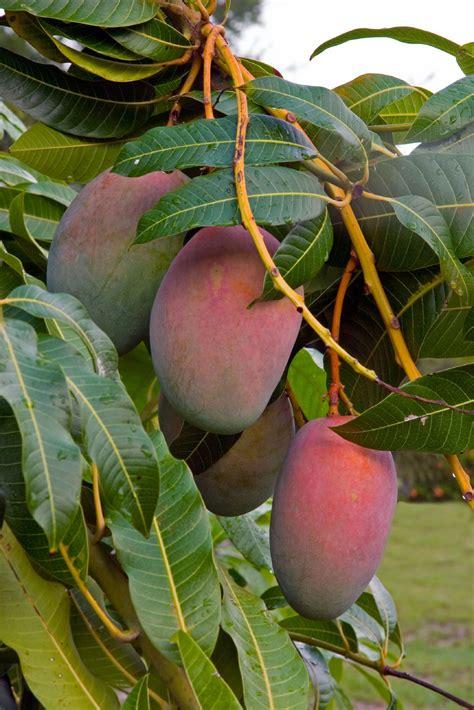 mango tree with fruits mango tree problems no mango fruit on tree