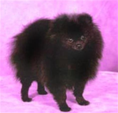 pomeranian intelligence pomeranian intelligence breeds picture