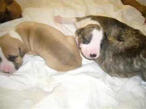 2 week pitbull puppies pit bull puppies 2 weeks