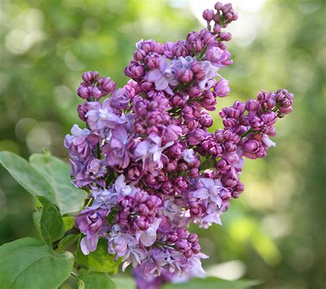 Evergreen Furniture by Buy Common Lilac Syringa Vulgaris Charles Joly Delivery