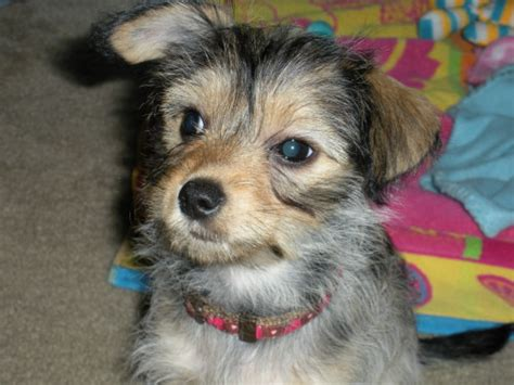 chihuahua yorkie terrier mix jan terrier chihuahua mix adopted adopted flickr photo