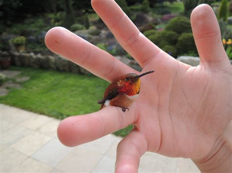 bee hummingbird worlds smallest bird