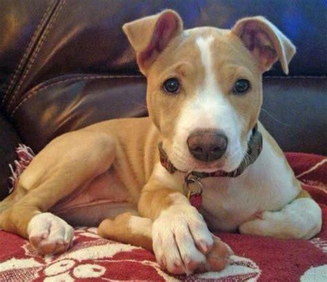 pitbull terrier mix puppies american pit bull terrier terrier mix puppy pups