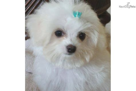 maltese puppies for sale in dallas meet in orange a maltese puppy for sale for 1 195 dallas maltese