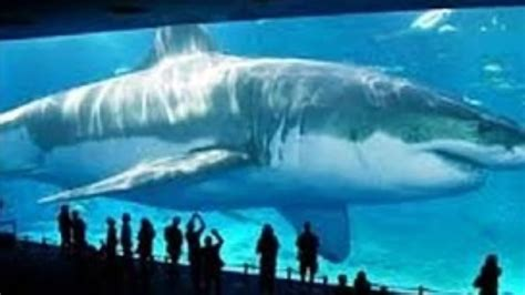 how much is the biggest boat in the world biggest megalodon shark in the world