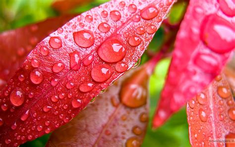 wallpaper pink leaves water bubbles on pink leaf wallpapers hd wallpapers id