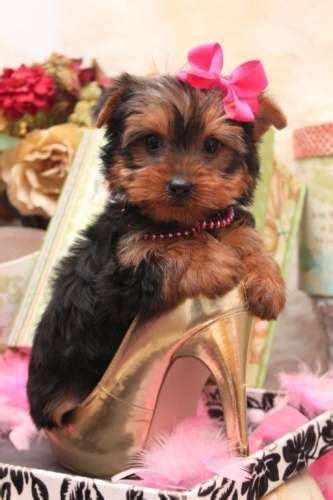 yorkie lifespan teacup yorkie 887 best pet fashion show images on