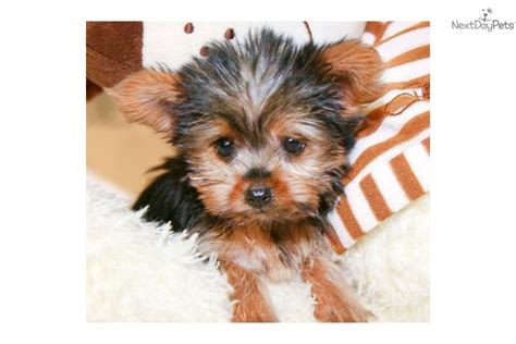 what age is a yorkie puppy grown terrier yorkie puppy for sale near columbus ohio 42093d90 a941