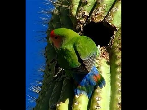 wild peach faced lovebirds in arizona youtube