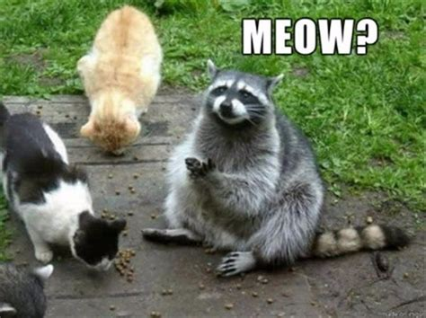 Funny Raccoon Meme - 1529 best images about raccoons on pinterest a tree