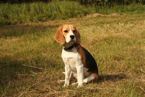 black beagle puppies the beagle by black cat88 on deviantart