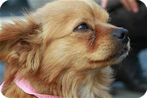 fox terrier pomeranian mix fox adopted los angeles ca pomeranian terrier unknown type small mix