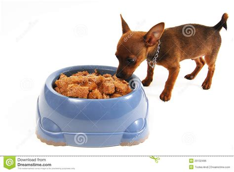 dog eating from bowl chihuahua dog eating food from a bowl royalty free stock