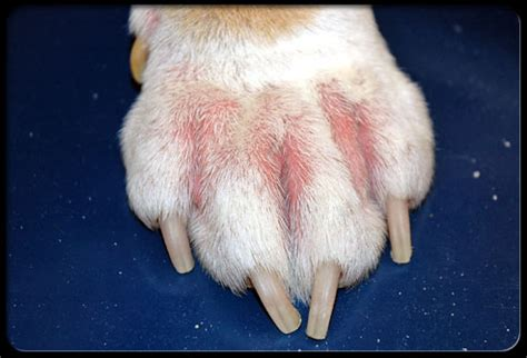 paw yeast infection home remedy dogs yeast infection paws guide