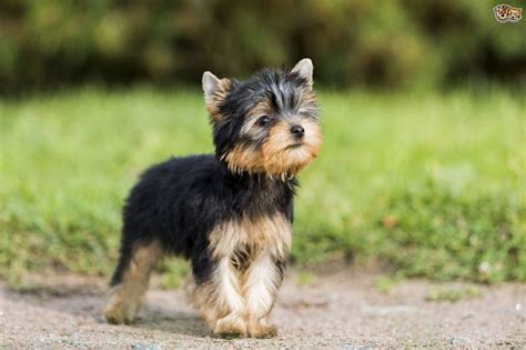 price of westie puppies terrier price range how much does a yorkie puppy cost