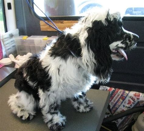 Cocker Spaniel Shedding Hair by Cat Grooming Tips More On Non Shedding Dogs