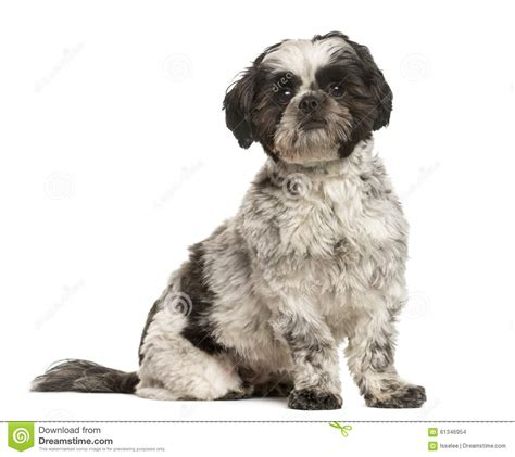 shih tzu sitting shih tzu sitting stock photo image 61346954