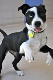 wisconsin humane society available dogs dogs that need a home on adoption mastiff dogs and shepherd dogs