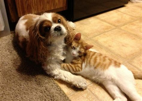 Charles And Ceits 10 reasons why you should never own cavalier king charles