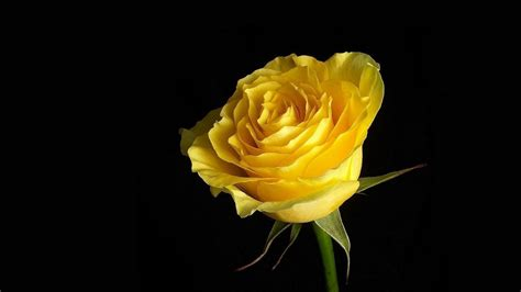 desktop wallpaper yellow roses wallpapers yellow rose wallpaper cave