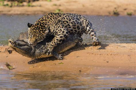 jaguar huntington how do jaguars hunt graphic images and focusing