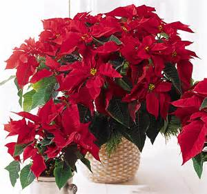 christmas plants poinsettia the classic christmas plant griffins garden