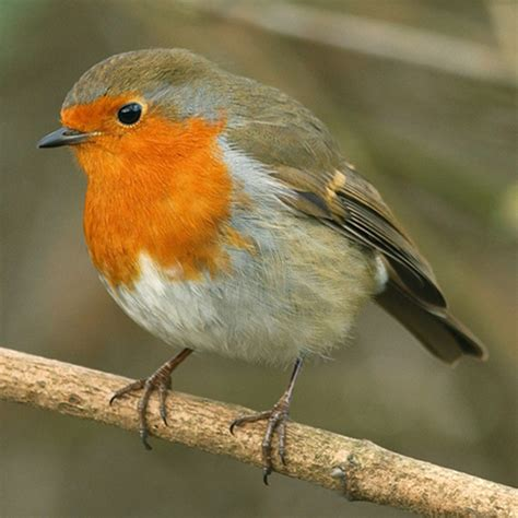 Robins O O robin popular birds gardenbird co uk