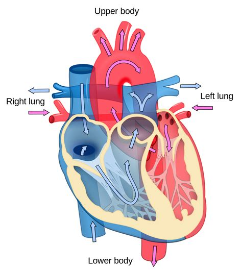anatomy and physiology coloring workbook answers page 240 file diagram blood flow en svg wikimedia commons