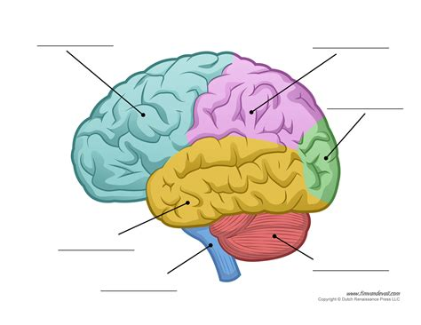 sections of the brain brain diagram unlabeled color tim van de vall