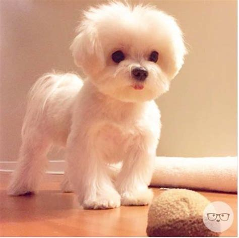 puppy haircuts best 25 haircuts ideas on grooming styles maltese haircut and