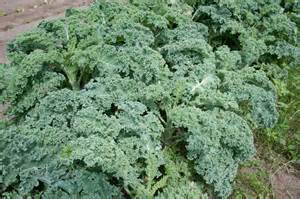 common kale issues diseases of kale and garden pests