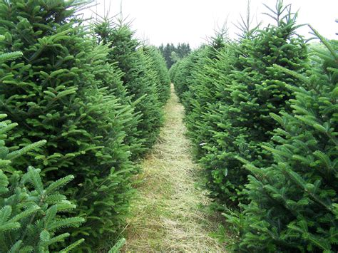 looking for a christmas tree stop by shoppers world