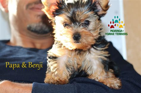 teacup yorkie grooming yorkie terrier puppies yorkie puppies for sale teacup dogs moringa for dogs