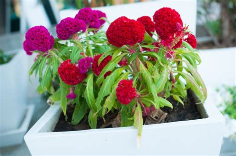 how well would a plant grow yellow light how to grow celosia christata plants in containers
