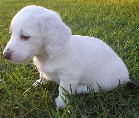 white dachshund puppies almost solid white dachshund miniature akc puppy piebald melanism